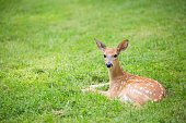 Deer fawn resting in a green grassy lawn