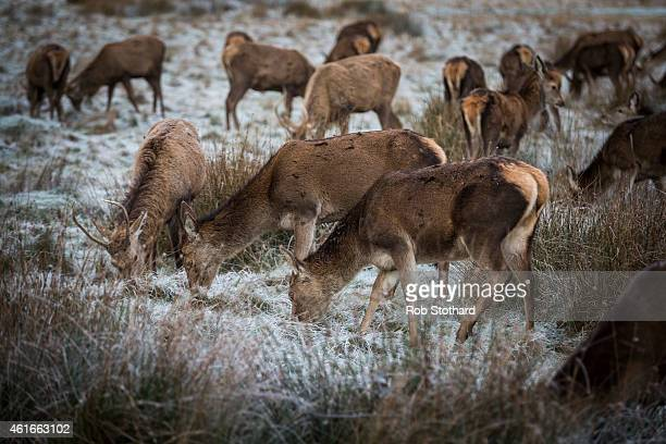 Deer graze in frost covered grass in Richmond Park on January 17 2015 in London England A forecasted cold weather front is due to bring sleet and...