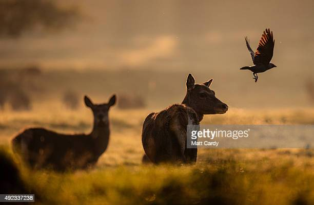 Deer graze in the early morning light at the Ashton Court Estate on October 12 2015 in Bristol England Parts of the UK are set to have a period of...