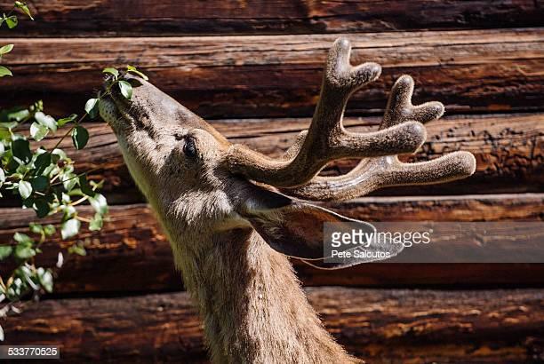Deer grazing from tree near log cabin
