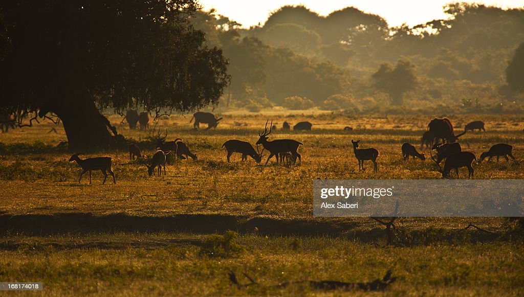 Deer grazing in the early morning in Yala National Park.
