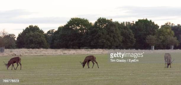 Deer Grazing On Field Against Sky