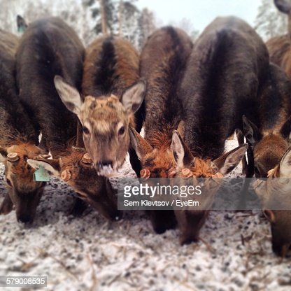 Deer Grazing On Snow Field