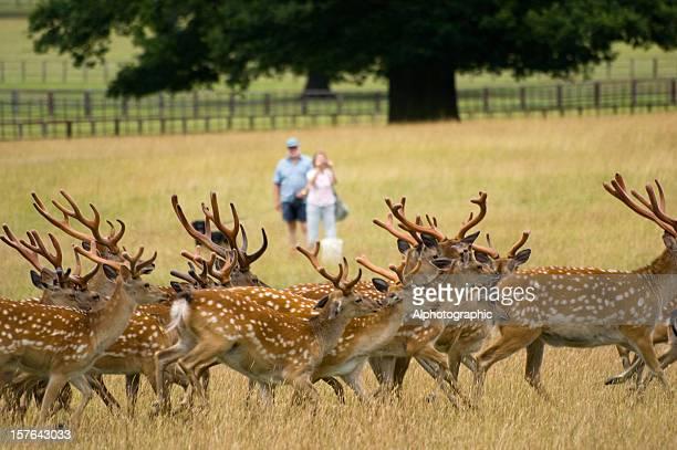 Deer herd being photographed