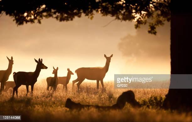 Deer Herde mit fawns