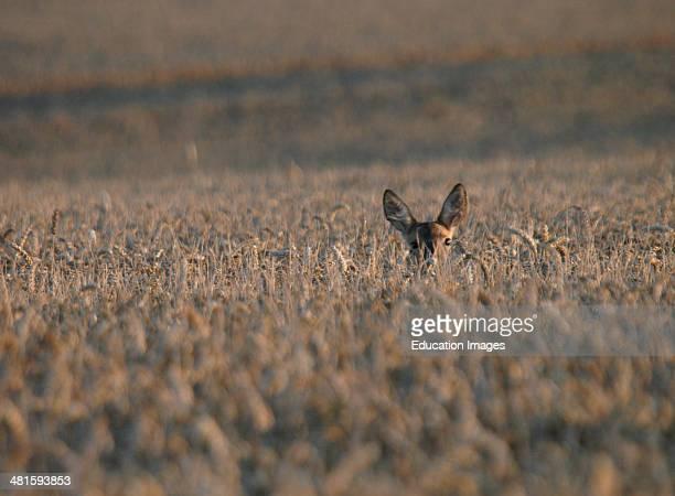 A deer in a field of wheat Dorset UK