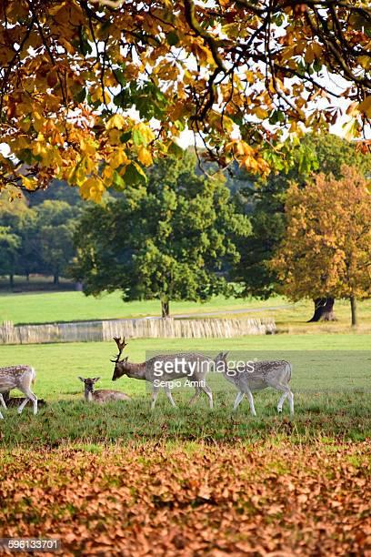Deer in autumn colours