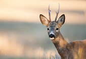 Deer with big horns in close-up