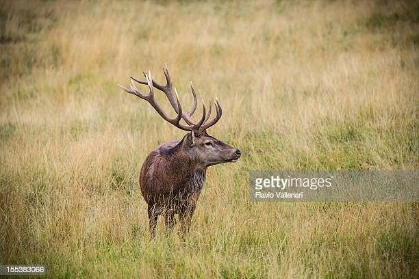 Deer in Paneveggio Forest, Italien