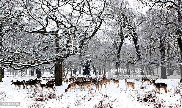 Deer In Richmond Park In Snow London UK