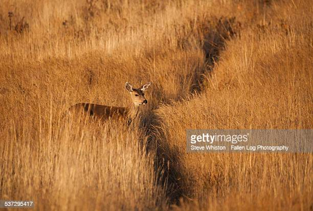 Deer In Tall Grass By Trail