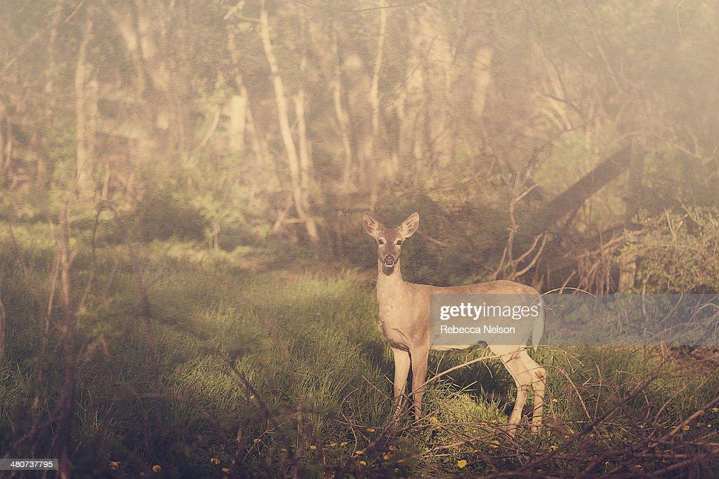 Deer in the wild : Stock Photo
