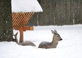 Beautiful young deer in winter