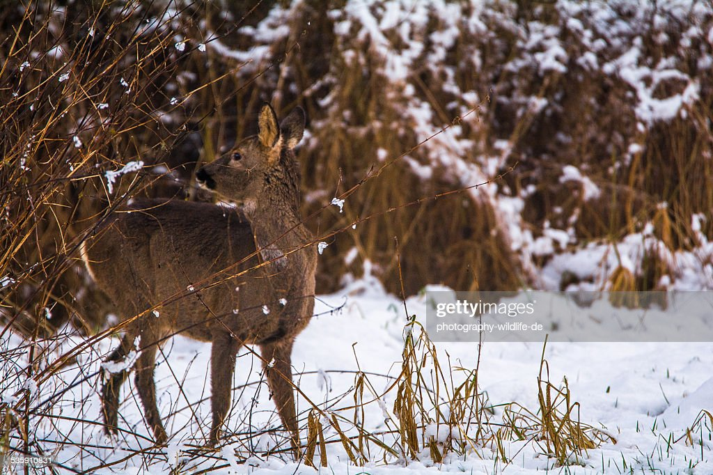 Reh im Winter : Stock Photo