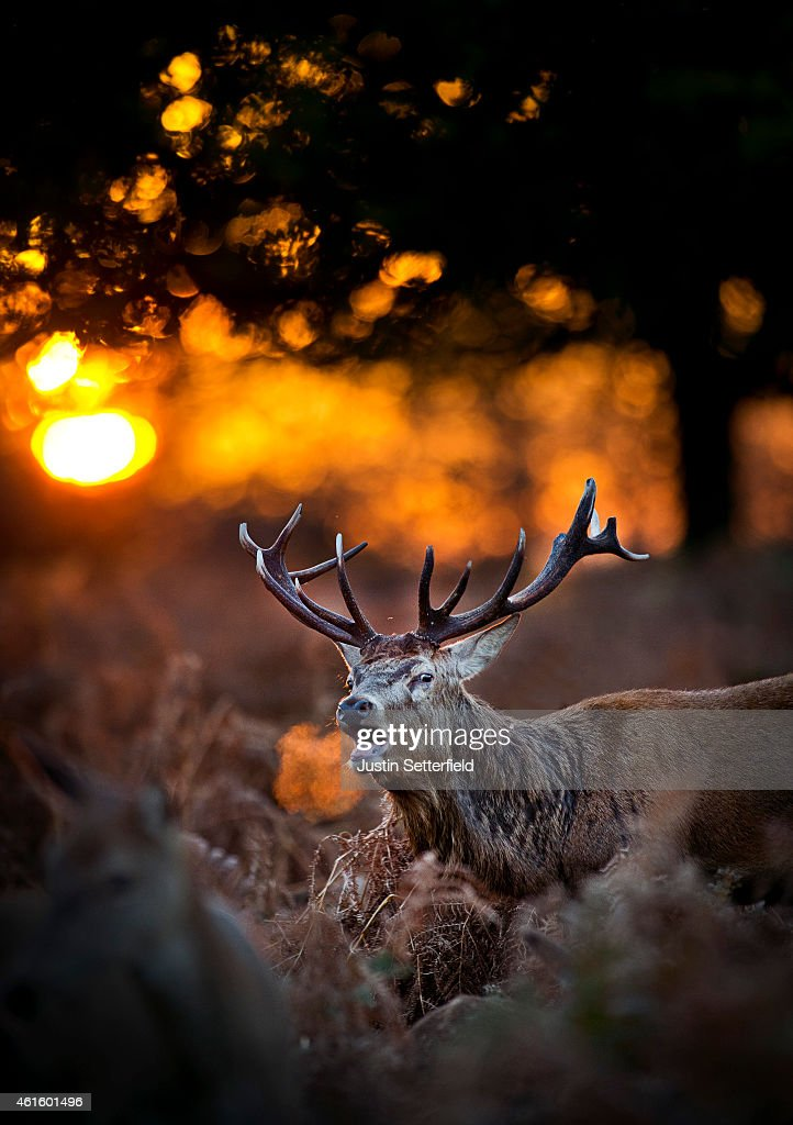 A deer is seen bugling in the late afternoon sun in Richmond Park on November 13 2013 in London England Autumn sees the start of the 'Rutting' season...