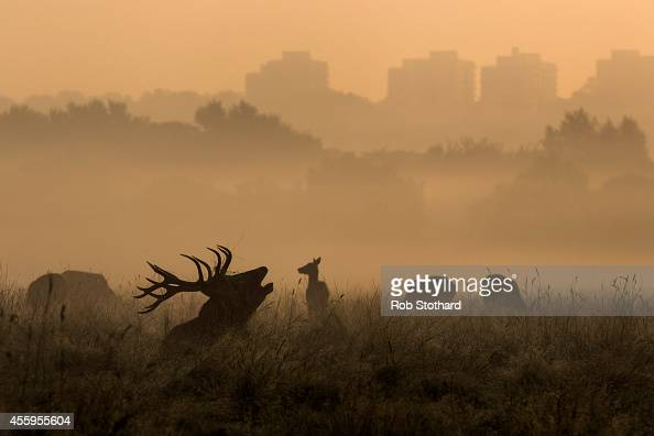 A deer is seen bugling in the morning mist in Richmond Park on September 23 2014 in London England Tuesday marks the autumn equinox where day and...