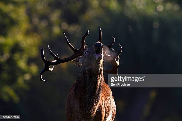 A deer is seen in Richmond Park on the first day of autumn on September 23 2015 in London England The autumnal equinox usually falls around September...
