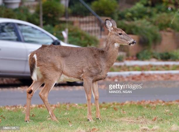 A deer is seen on the lawn of Annunciation Catholic Church on November 5 2013 in Washington DC According to State Farm insurance November is the...