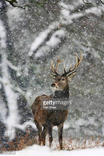 Deer look on during snowfall over Richmond Park on February 8 2007 in London EnglandTravel chaos grips Southern England as heavy snow fell overnight...