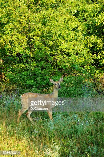 Deer Looking Alert : Stock Photo