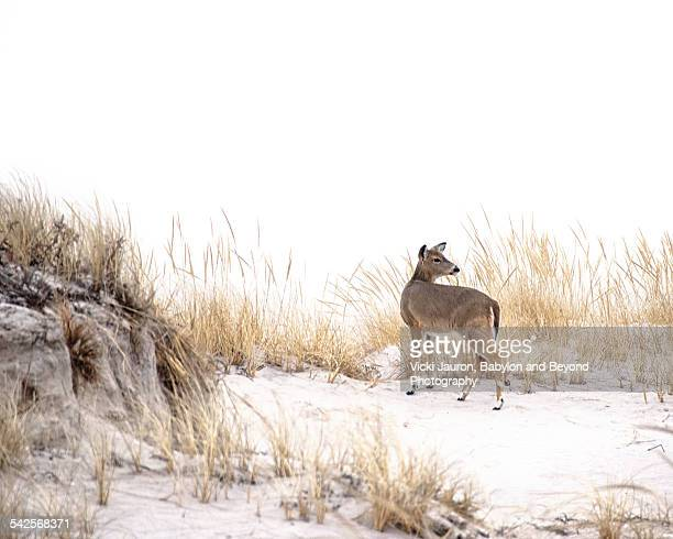 Deer looking back over the dunes