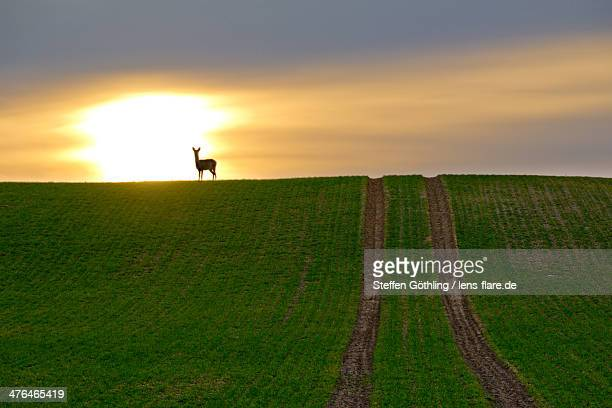 deer looking into the sunset