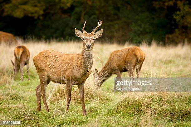 consenting adults red deer