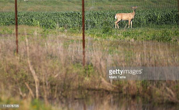 A deer looks on while standing on farmland next to floodwaters on May 18 2011 in Black Hawk Louisiana Wildlife throughout the region have been...