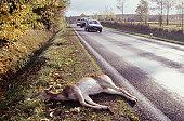 Deer lying dead by roadside on grass verge, road kill, cars on road