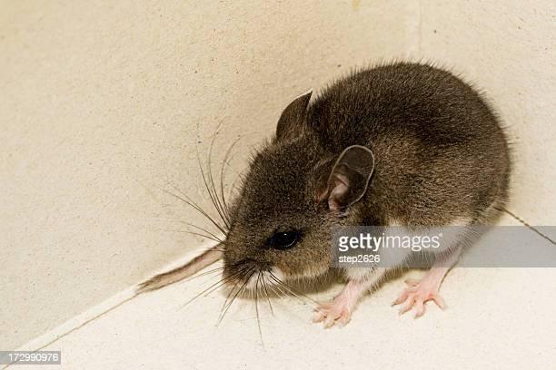 Rato-veadeiro