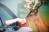 Deer offered drink from cup
