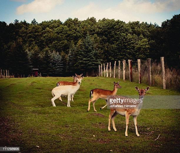 Deer on bawn
