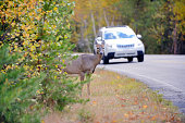 Deer canada, on an asphalt of a boreal forest of North America route. Risk of accident by car colision between the wild animal. The car collisions with Deer Crossing Road, causing injuries and fatalit
