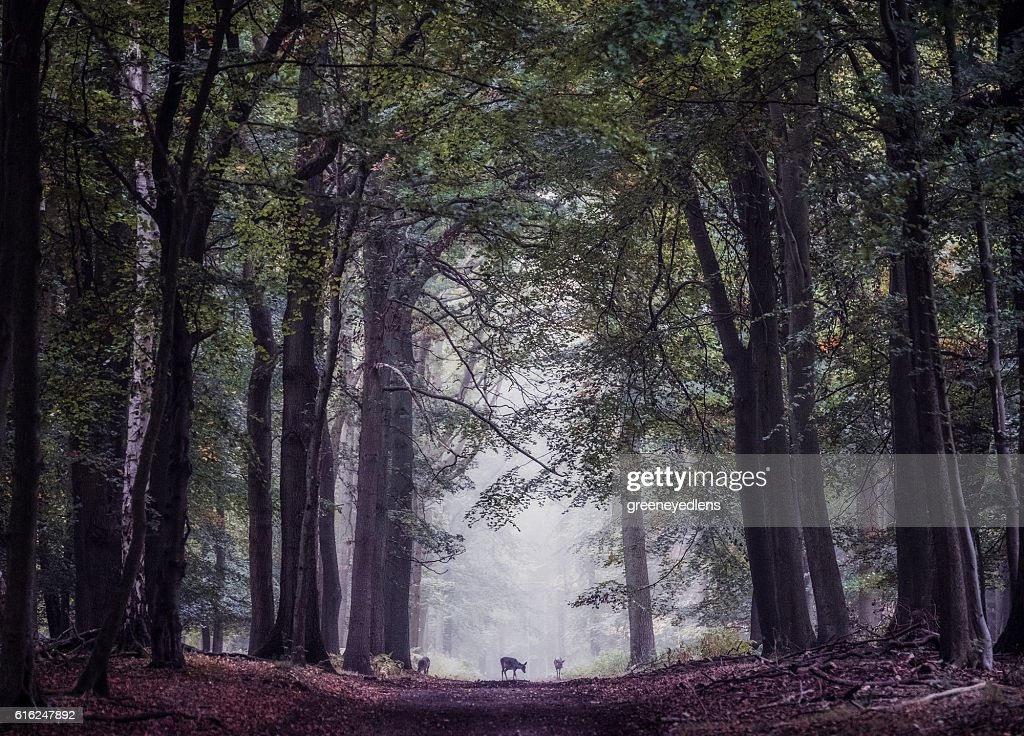 Deer on woodland path : Stock Photo