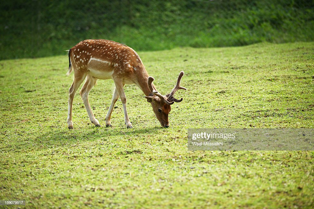 deer : Stock Photo