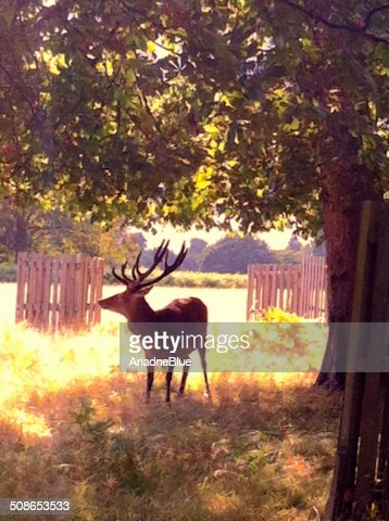 Deer : Stock Photo