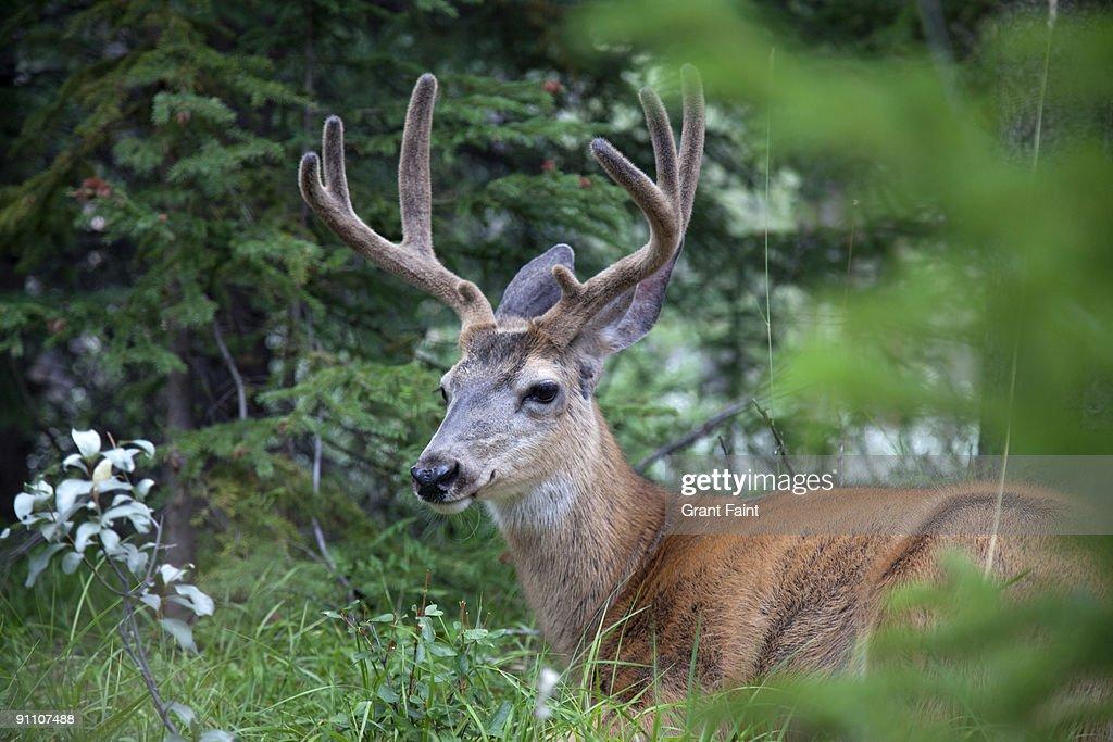deer resting in meadow : Stock Photo