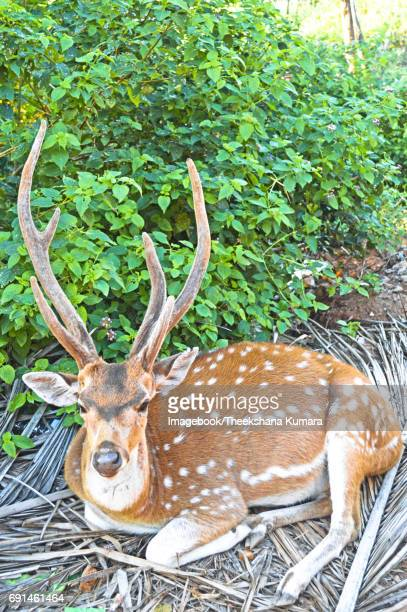 Deer resting on the coconut boughs
