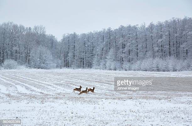 Deer running through winter field