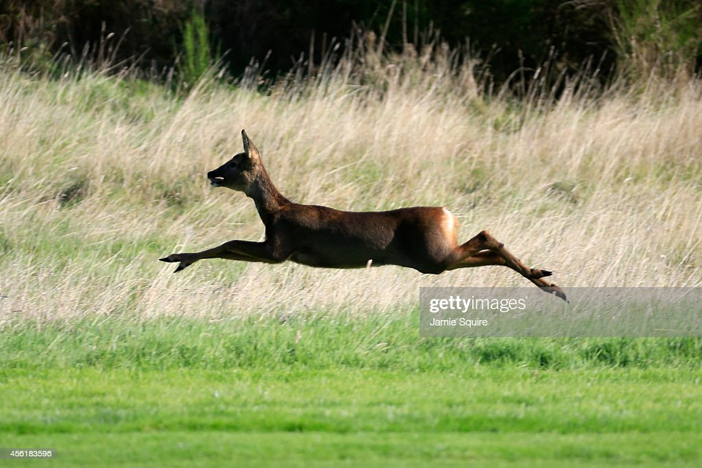 A deer runs across the course during the Morning Fourballs of the 2014 Ryder Cup on the PGA Centenary course at the Gleneagles Hotel on September 27, 2014 in Auchterarder, Scotland.