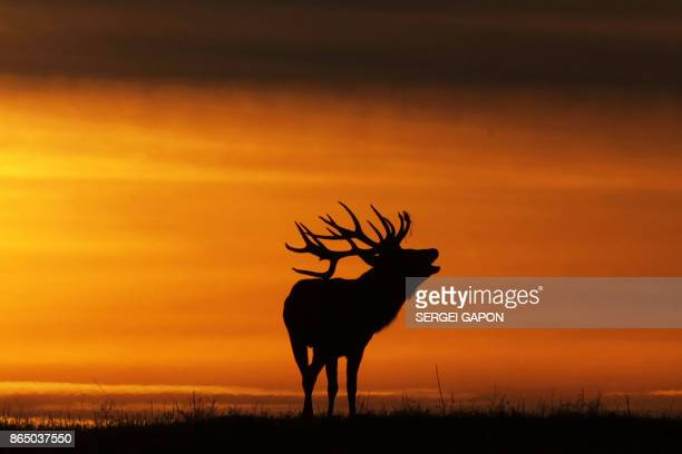 TOPSHOT A deer silhouetted at sunset bellows near the village of Gorodilovichi some 300 kilometers north of Minsk on October 22 2017 / AFP PHOTO /...