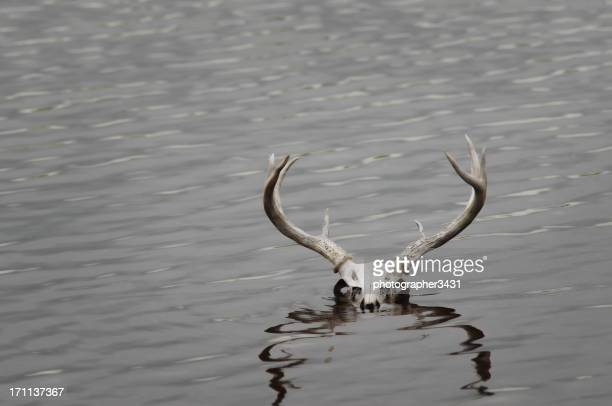 Deer Skull in Water