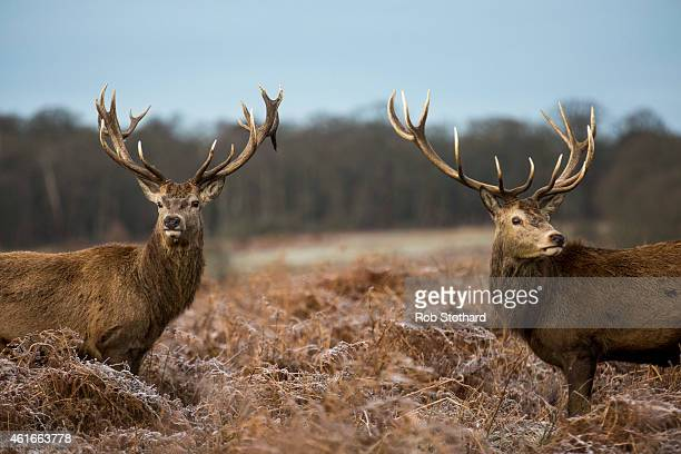 Deer stand in the early morning frost in Richmond Park on January 17 2015 in London England A forecasted cold weather front is due to bring sleet and...