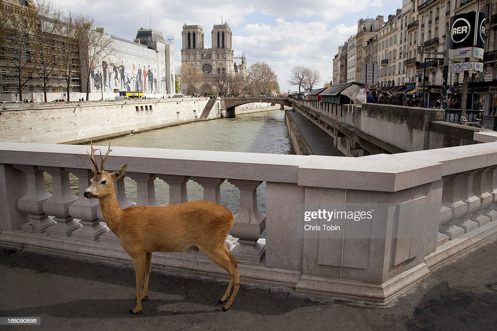 Deer standing by Seine river in Paris : Stock Photo