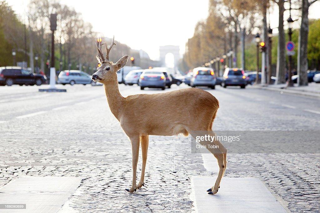 Deer standing in crosswalk on Champs-Élysées