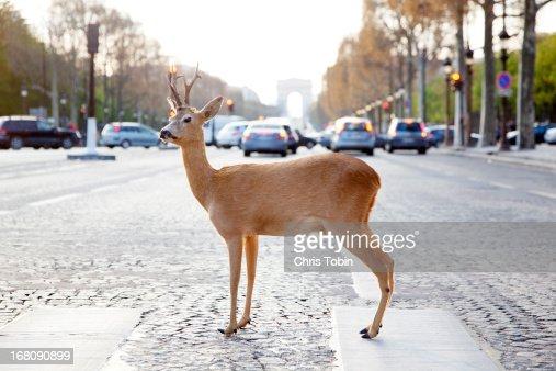 Deer standing in crosswalk on Champs-Élysées : Stock Photo