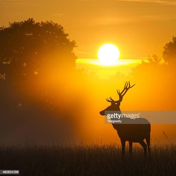 Deer standing in park at sunset, Berkshire, England, UK