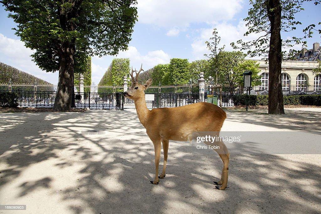 Deer standing in park : Stock Photo