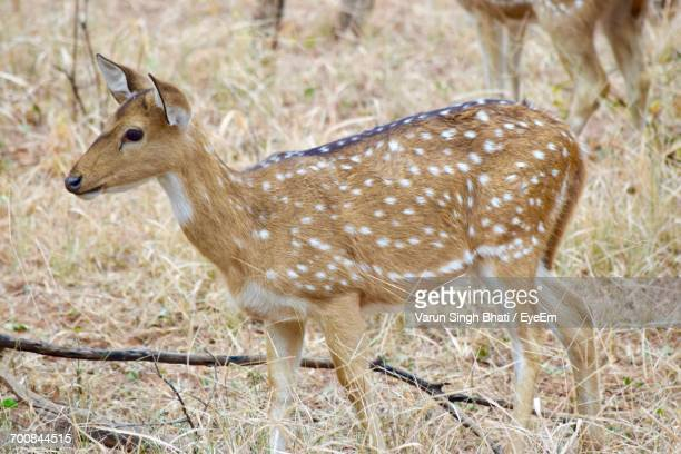 Deer Standing On Field