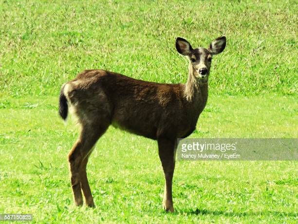 Deer Standing On Grass